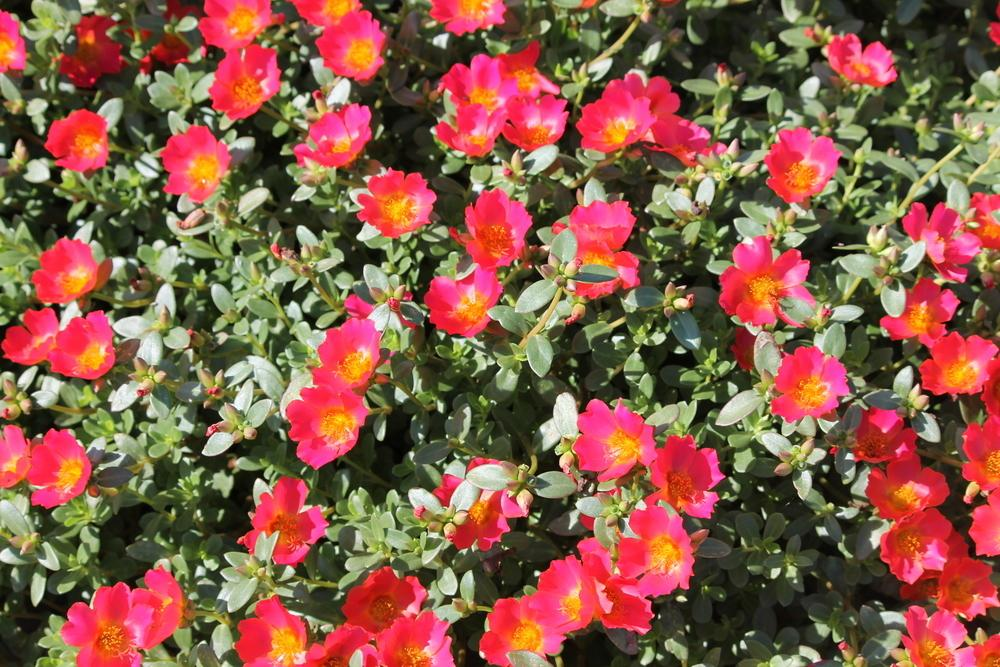 Photo Of The Entire Plant Of Moss Rose Portulaca Cupcake