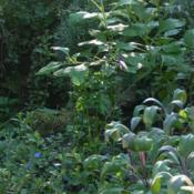 Location: my gardenDate: 2008-07-08Salvia officinalis purpurascens in right foreground, Ev