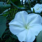 Location: my gardenDate: 2007-09-19Ipomoea alba on roof of arbor, beneath trees