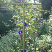 Location: my gardenDate: 2007-08-18View beyond Hybrid Japanese Morning Glory seedling that