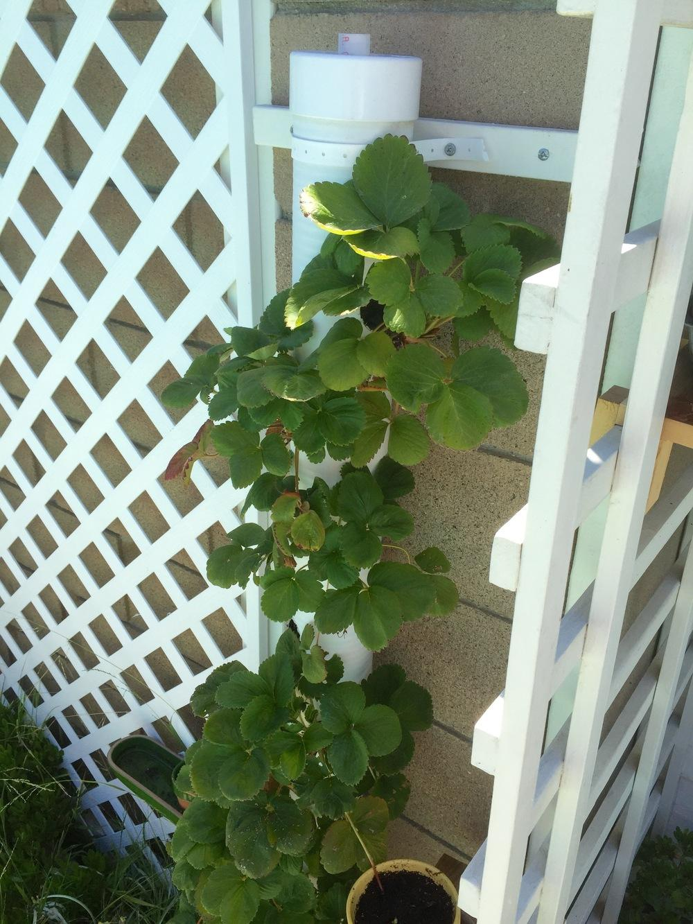 PVC Strawberry Tower Garden | Incredible Tower Garden Ideas For Homesteading In Limited Space