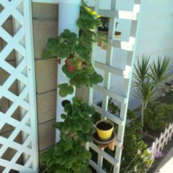 PVC Pipe Strawberry Tower