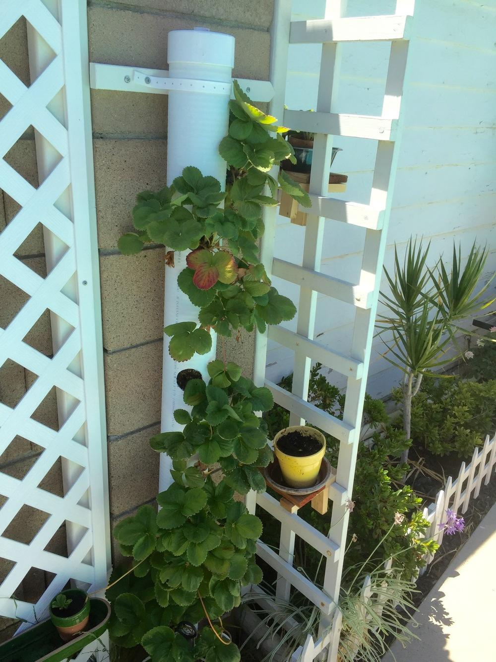 pin pvc strawberry tower vertical planter on pinterest. Black Bedroom Furniture Sets. Home Design Ideas