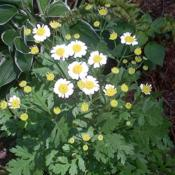 Location: Northern NJDate: 2016-07-16 My first Feverfew!
