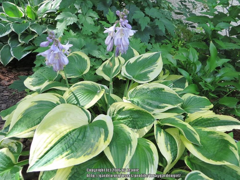 Photo of Hosta 'Wide Brim' uploaded by foraygardengirl