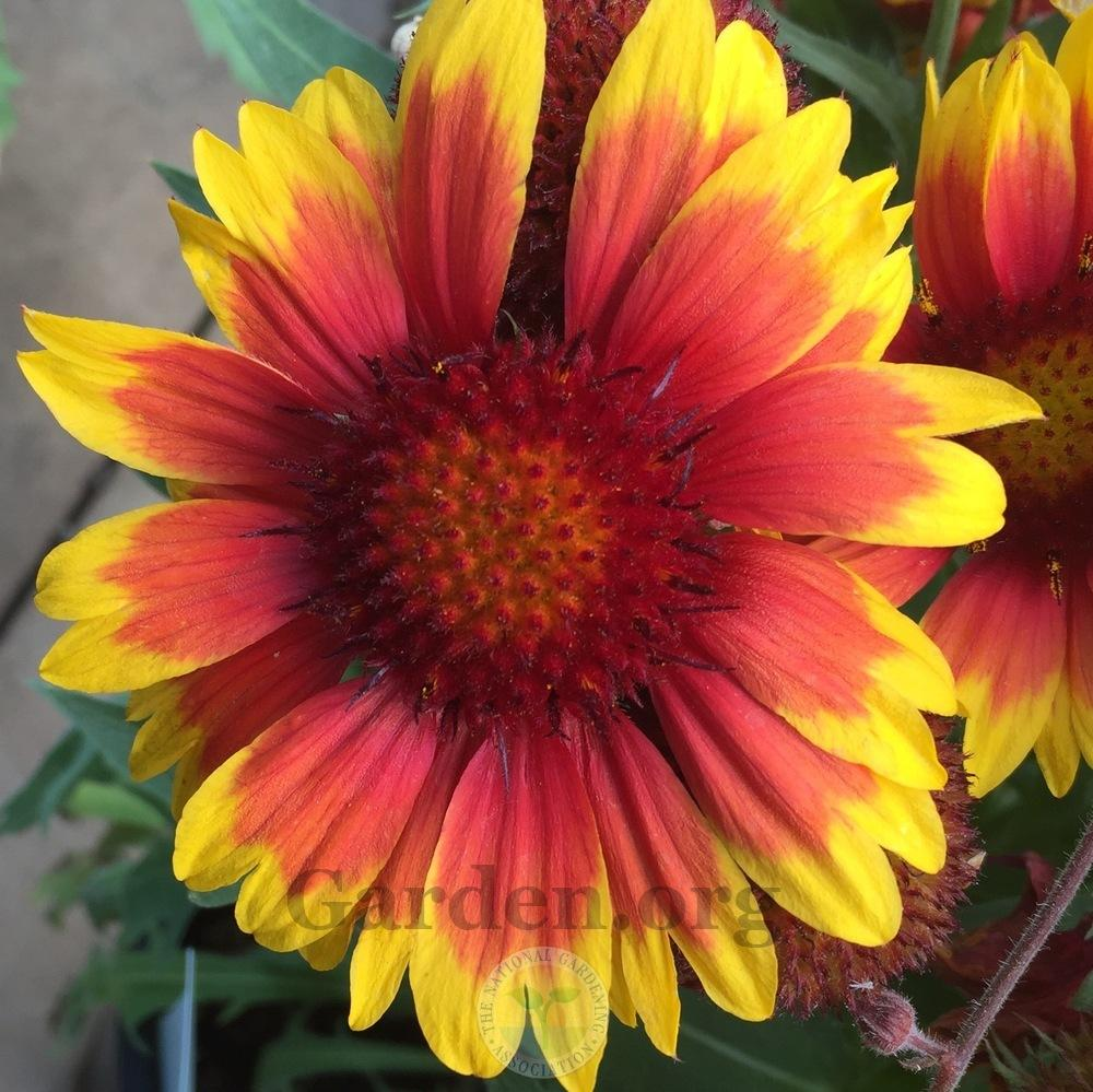 Photo of Blanket Flower (Gaillardia 'Arizona Sun') uploaded by Patty