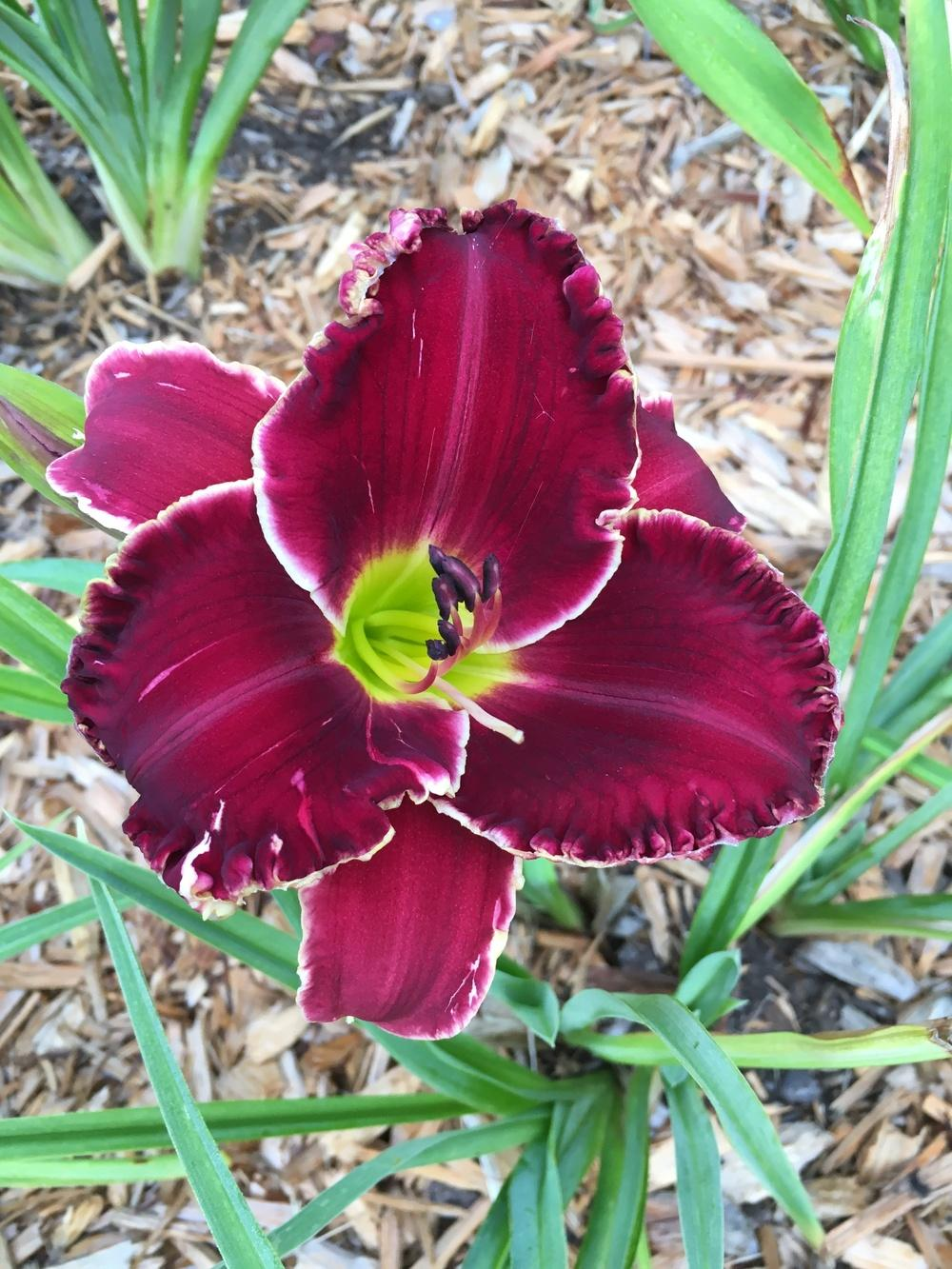 Photo of Daylily (Hemerocallis 'Velvet Throne') uploaded by ljb5966