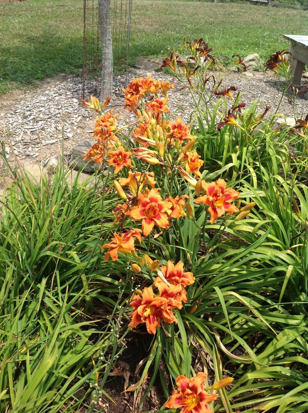 Photo of Daylily (Hemerocallis 'Bernie's Fault') uploaded by Lilydaydreamer