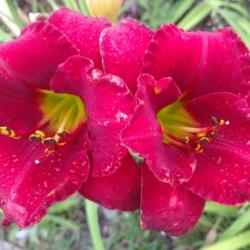 Thumb of 2016-07-22/DogsNDaylilies/0f9e39