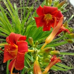 Thumb of 2016-07-22/DogsNDaylilies/3b342e
