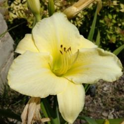 Thumb of 2016-07-22/DogsNDaylilies/3f3d00