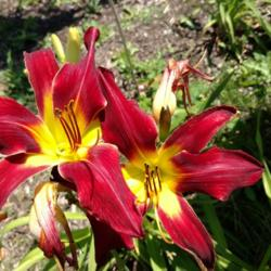 Thumb of 2016-07-22/DogsNDaylilies/49a04b