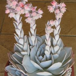 Photo of Echeverias (Echeveria)