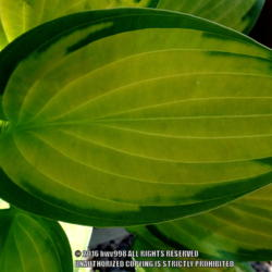 Photo of Hosta (Hosta 'Paul's Glory')