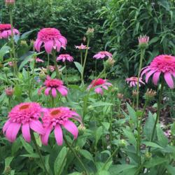 Photo of Coneflower (Echinacea 'Pink Double Delight')