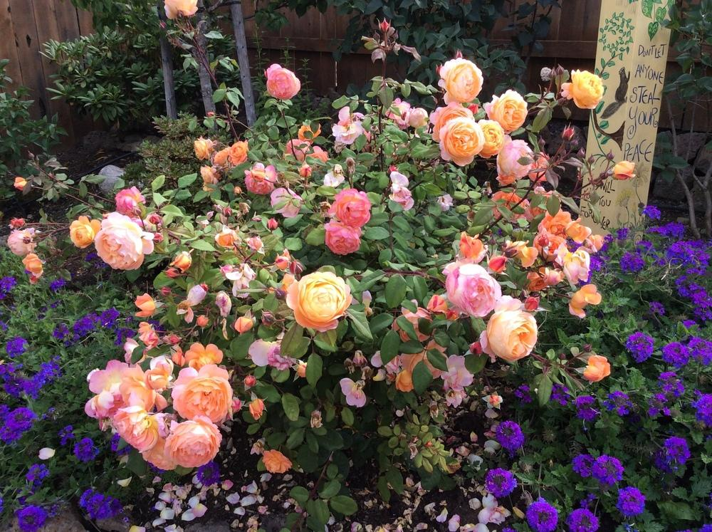 Photo of Rose (Rosa 'Lady of Shalott') uploaded by sockcranke