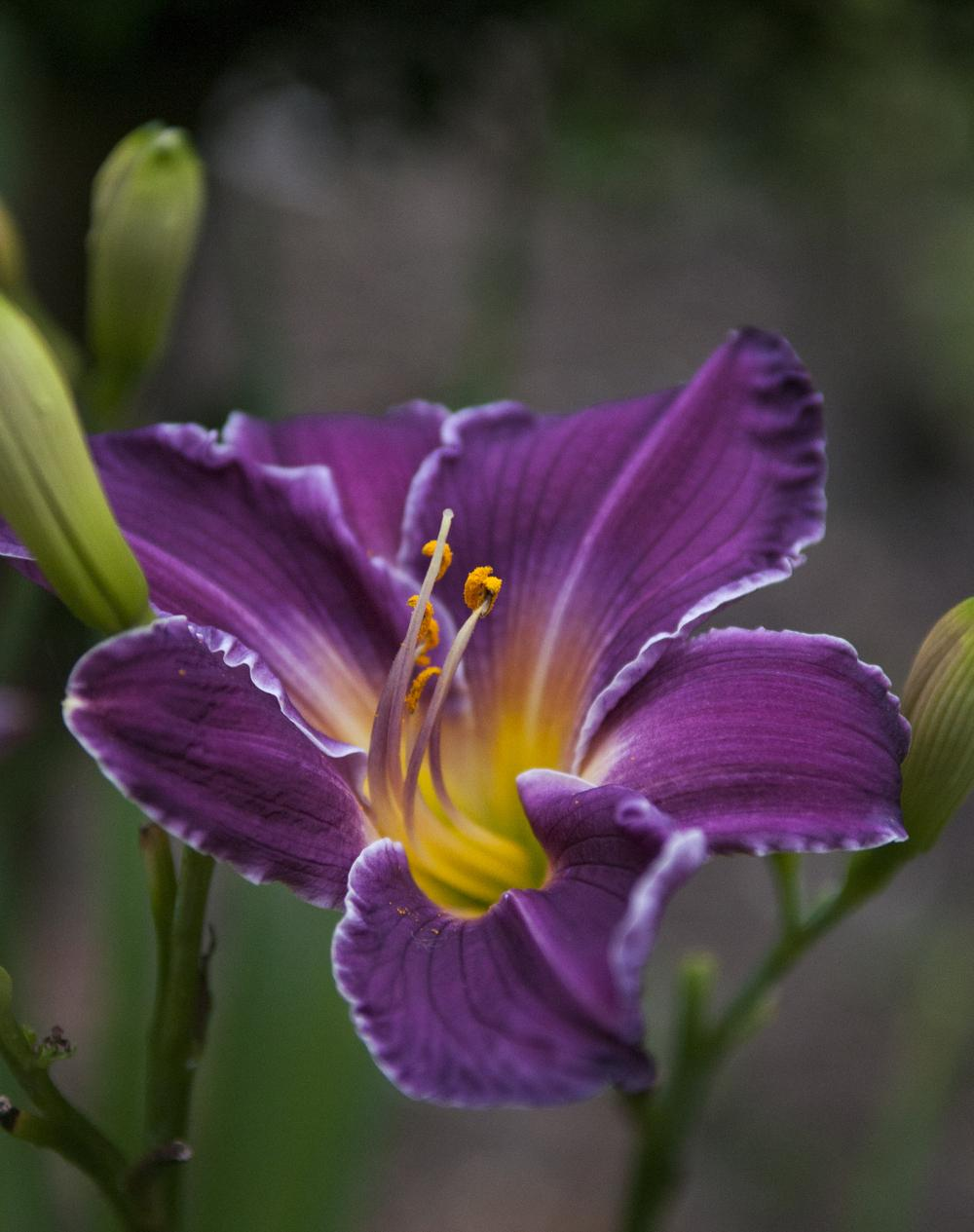 Photo of Daylily (Hemerocallis 'Indian Giver') uploaded by cliftoncat