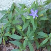 Location: 1717 Fairhaven Court, Apopka, FLDate: 2016-07-20Some kind of ground cover