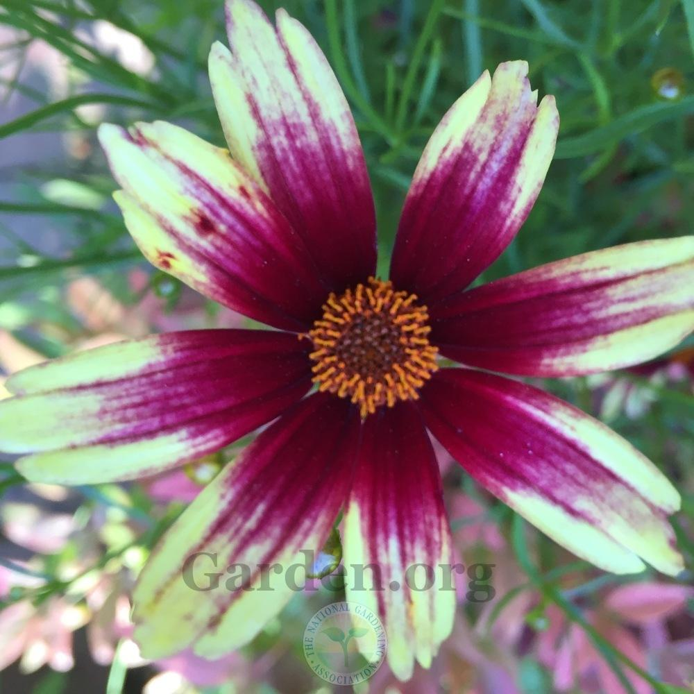 Photo of Tickseed (Coreopsis Satin & Lace™ Red Chiffon) uploaded by Patty