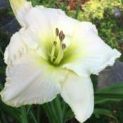 Location: my zone 5 gardenDate: 2016-07-24This is my favorite white (well, in a tie with Voila Fr