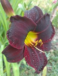Thumb of 2016-07-26/DogsNDaylilies/144271