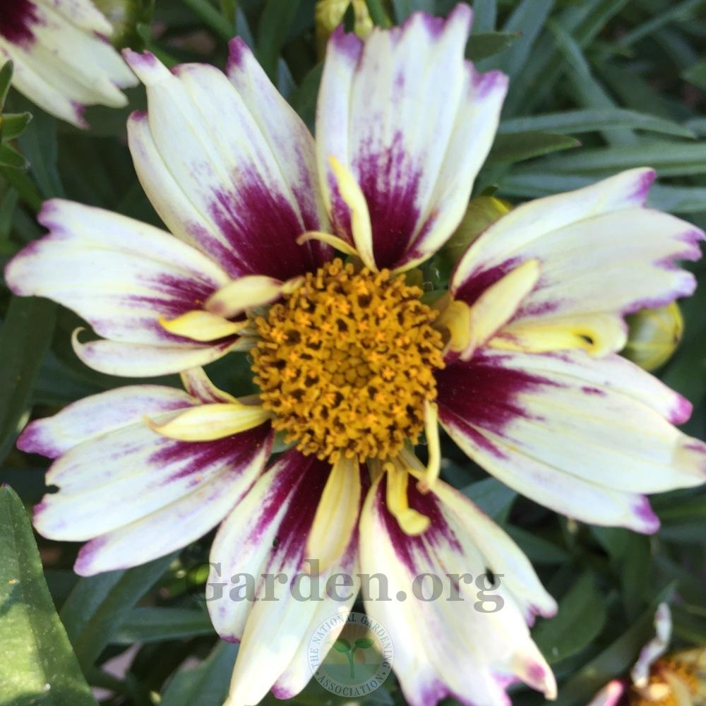 Photo of Tickseed (Coreopsis Li'l Bang™ Starlight) uploaded by Patty