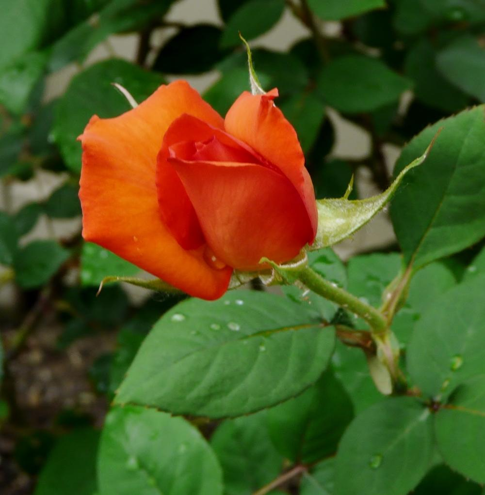 Photo of Rose (Rosa 'Wildfire') uploaded by cwhitt