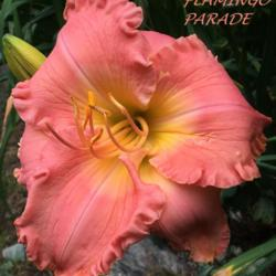 Photo of Daylily (Hemerocallis 'Flamingo Parade')