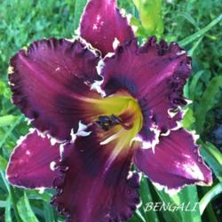 Photo of Daylily (Hemerocallis 'Bengali')