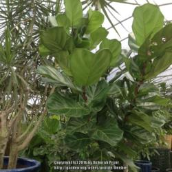 Photo of Fiddle-leaf Fig (Ficus lyrata)