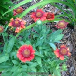 Photo of Blanket Flower (Gaillardia x grandiflora Gallo® Red)