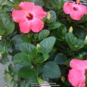 Location: Columbia, SCDate: 2016-04-22Tropical hibiscus red blooms