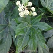 Location: Charleston, SCDate: 2015-11-29Fatsia Japonica leaves and bloom