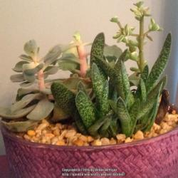 Photo of Gasteria