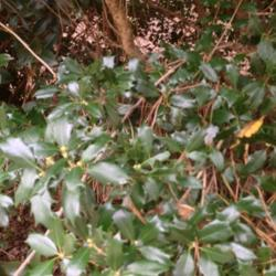 Photo of Holly Olive (Osmanthus heterophyllus)