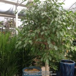 Photo of Weeping Fig (Ficus benjamina)
