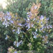 Location: Hamilton Square Garden, Historic City Cemetery, Sacramento CA.Date: 2016-07-21Zone 9b.