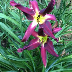 Gossard daylilies are very good performers in my garden.