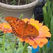 Location: Carbon Hill, AL Date: 2016-06-20Butterfly on Zinnia