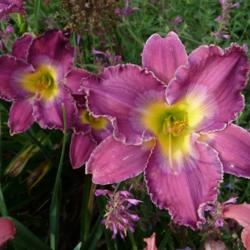Photo of Daylily (Hemerocallis 'Mount Ararat')