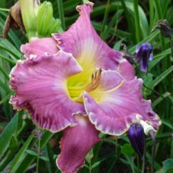 Photo of Daylily (Hemerocallis 'Cup of Cold Water')