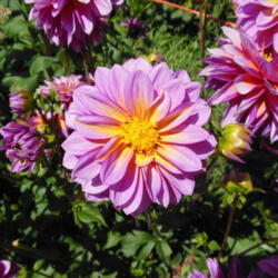 Photo of Dahlia (Dahlia 'Wannabee')