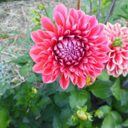 Photo of Decorative Ball Dahlia (Dahlia 'Tempest')