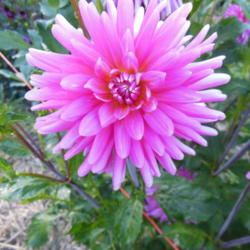 Photo of Cactus Dahlia (Dahlia 'Tutti Frutti')