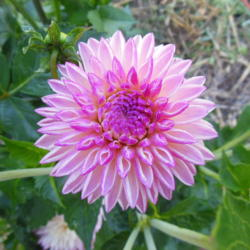 Photo of Dahlia (Dahlia 'Valley Porcupine')