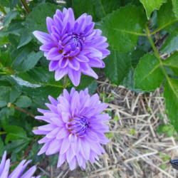 Photo of Semi Cactus Dahlia (Dahlia 'Worton Blue Streak')