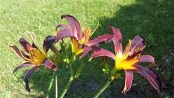 Thumb of 2016-07-29/DogsNDaylilies/bbe36a