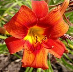Thumb of 2016-07-29/DogsNDaylilies/c8368c