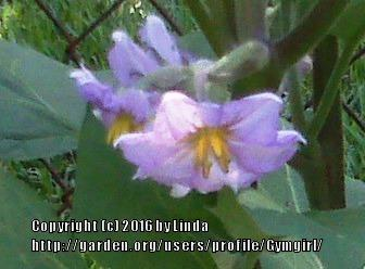 Photo of Eggplant (Solanum melongena 'Beatrice') uploaded by Gymgirl