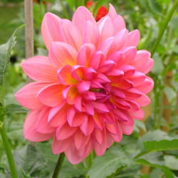 Photo of Dahlia (Dahlia 'Jabberbox')